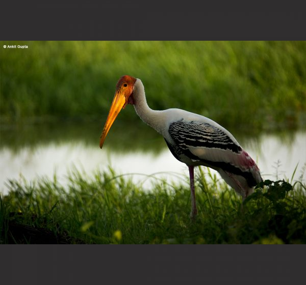 Wildlife Photography - Ankit Gupta